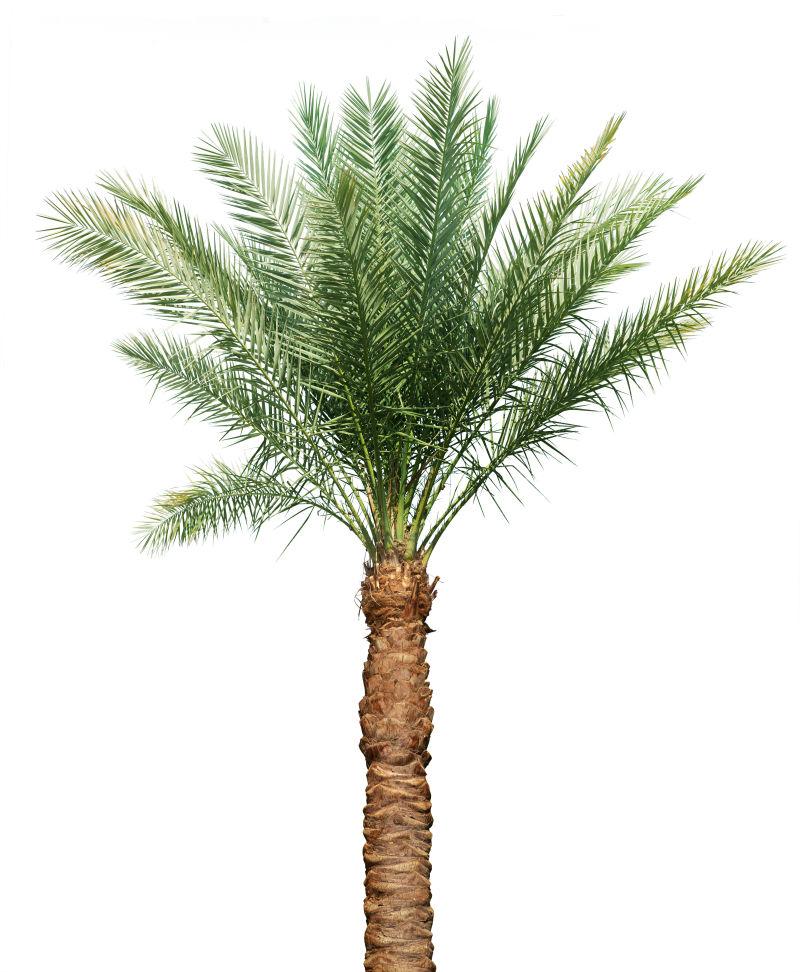 白色背景下的棕榈树木
