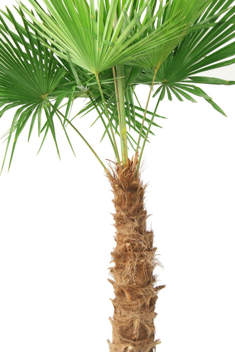 白色背景上的绿色棕榈枝