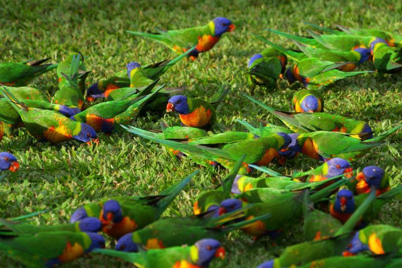 草地上正在找吃的的虹彩吸蜜鹦鹉