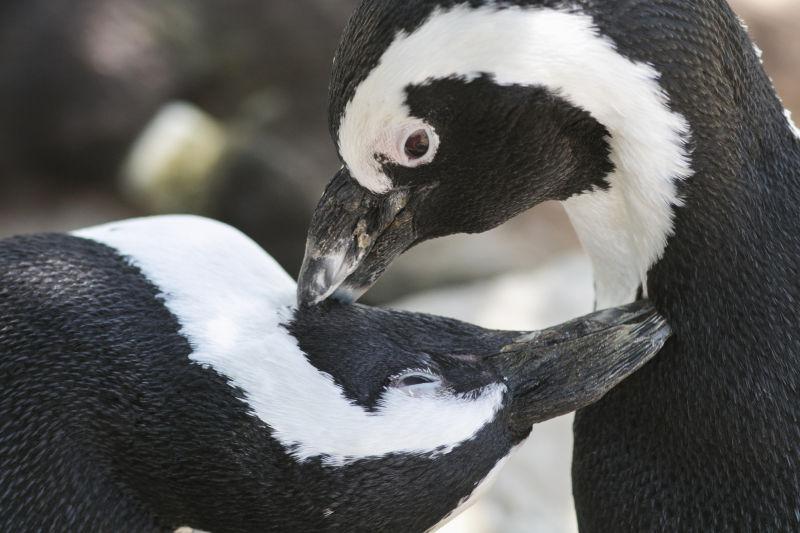 黑白色的企鹅鸟