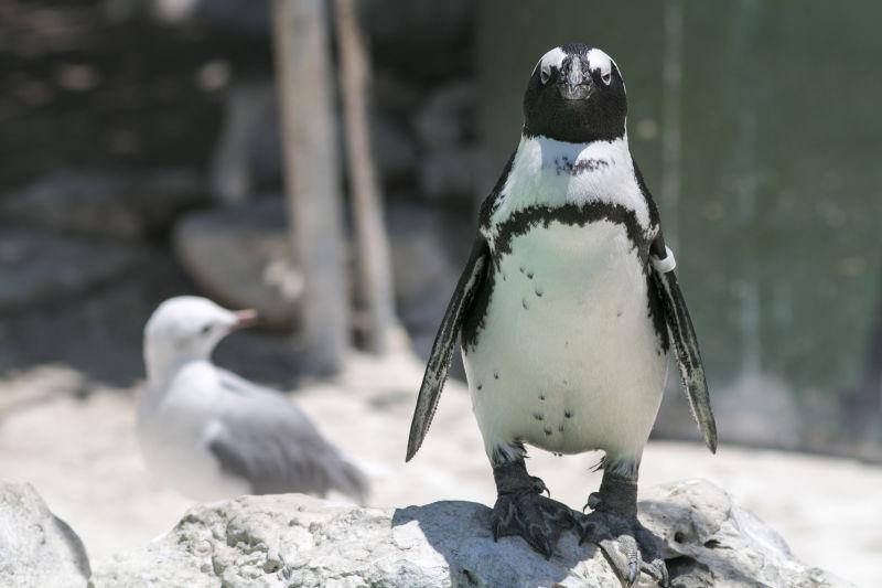 一只直立的企鹅