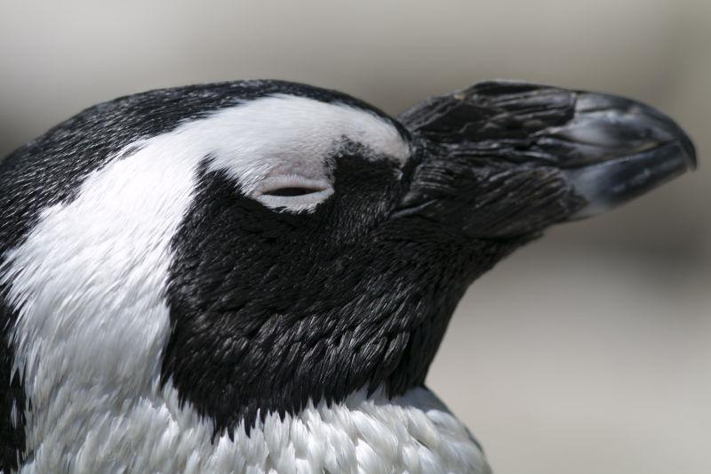闭着眼睛的企鹅