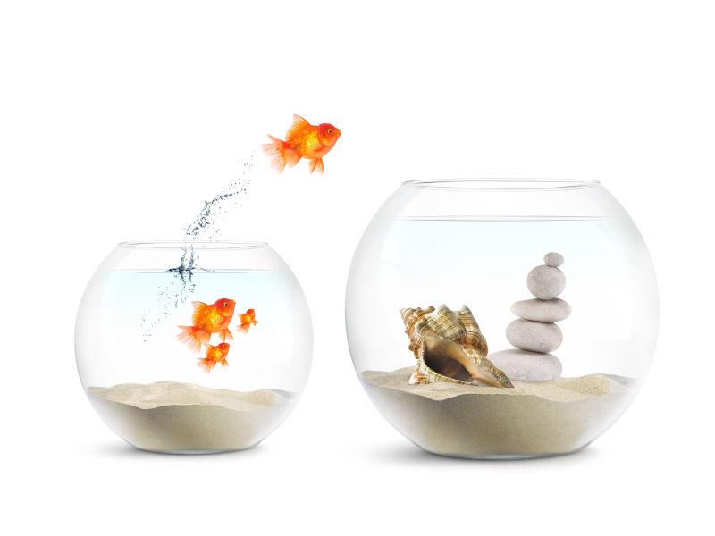 小鱼缸跳跃到大鱼缸的金鱼