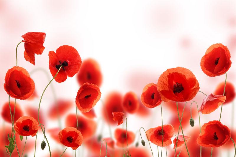 美丽的红色罂粟花背景