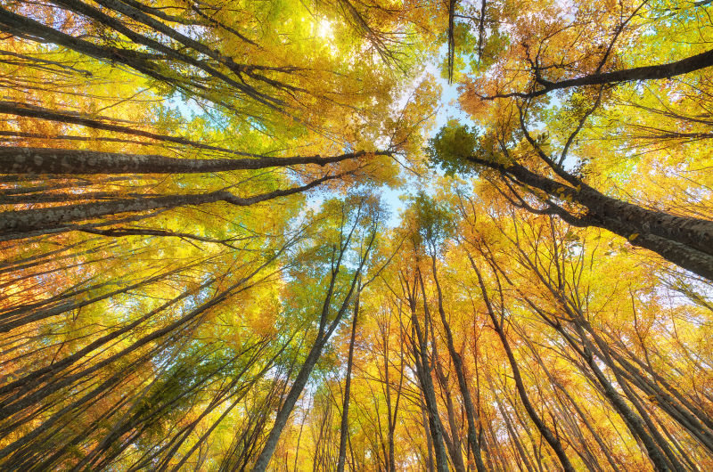 秋季泛黄树叶森林