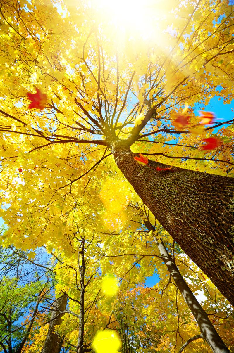 秋季阳光下的树木