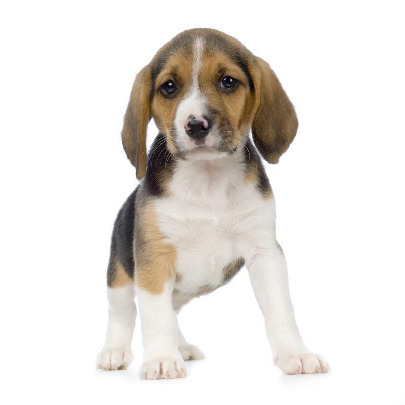 白色背景上的丘比特猎犬