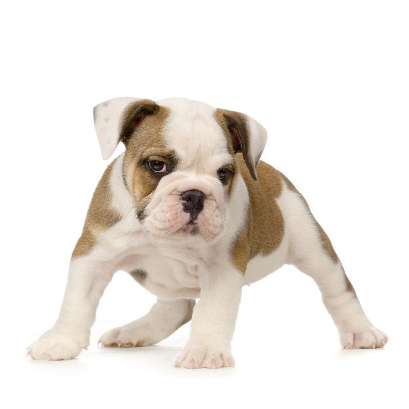 白色背景上的英国斗牛犬