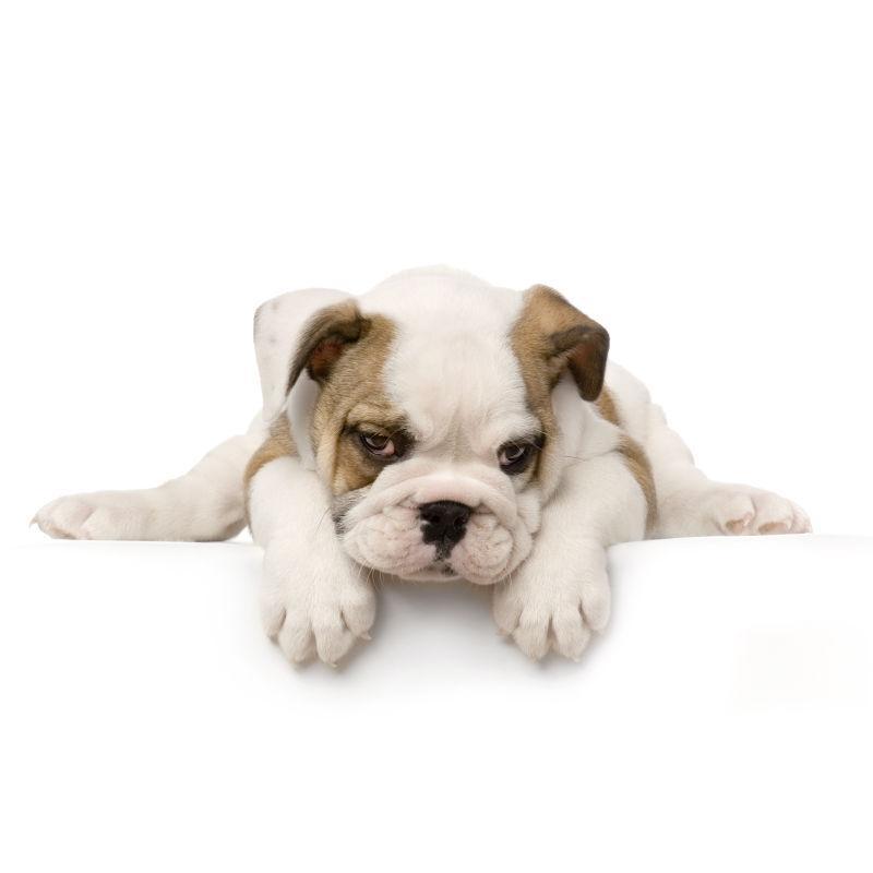 白色背景下趴着的英国斗牛犬