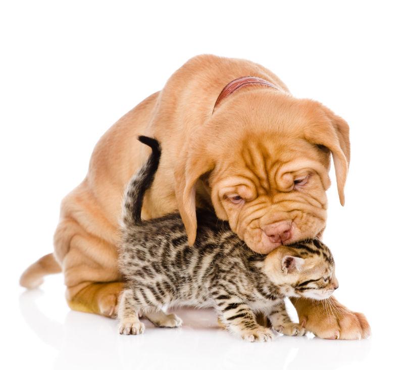舔猫咪头部的小狗