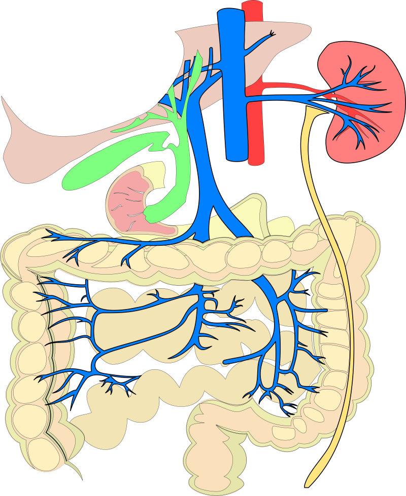人类内脏插图矢量设计