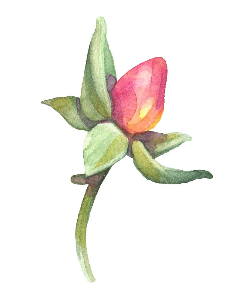 矢量红色未开发的花骨朵与叶片