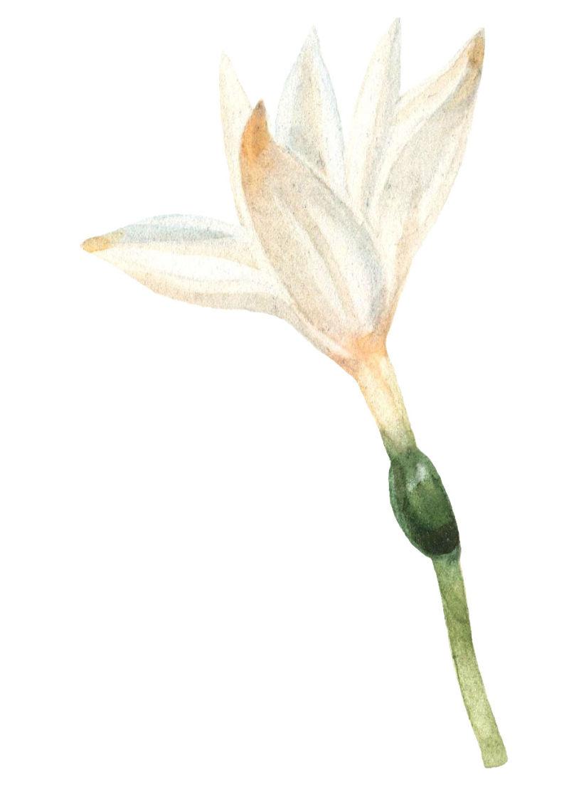 矢量水彩白色花朵