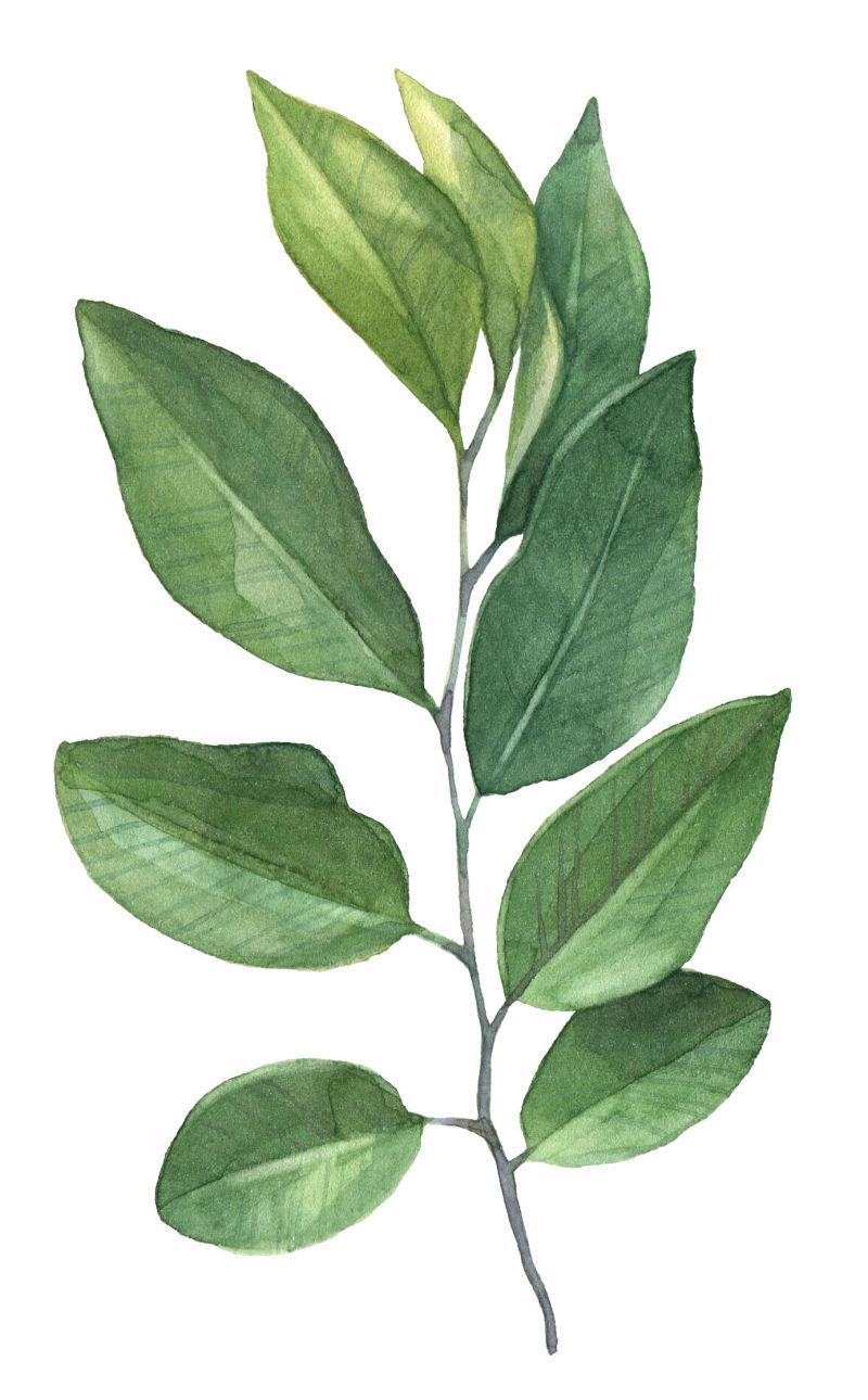 矢量绿色枝条叶片