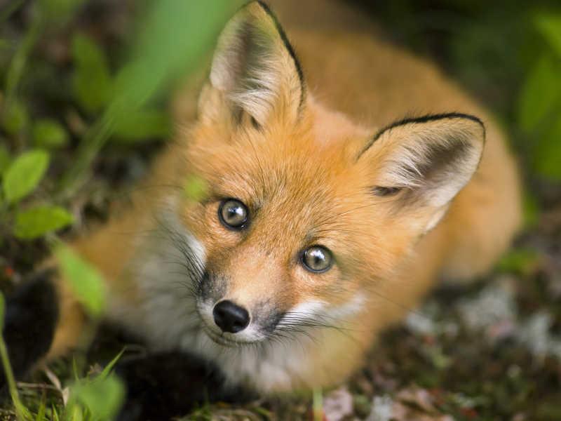 可爱狐狸犬