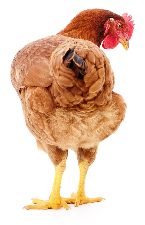 棕色母鸡分离。