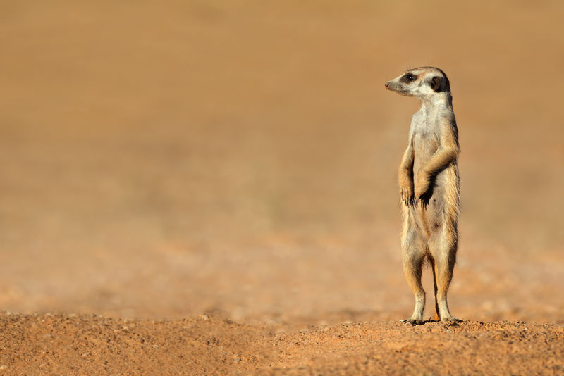 看守猫鼬,卡拉哈里沙漠