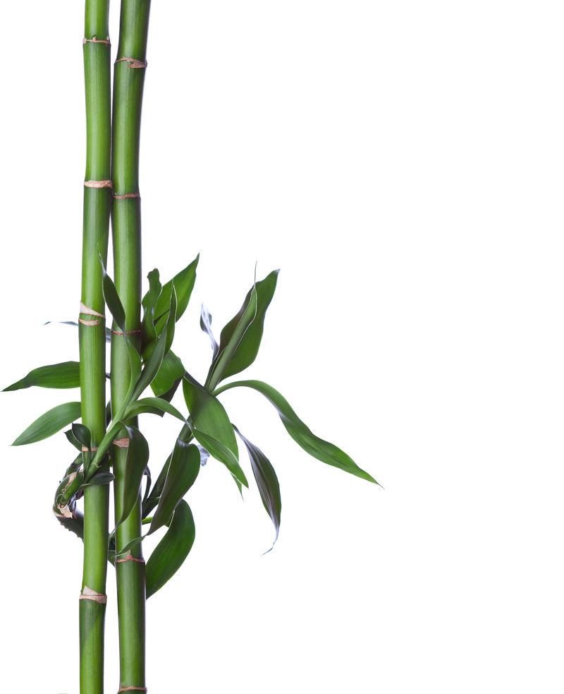 白底竹林。布拉尼龙舌兰
