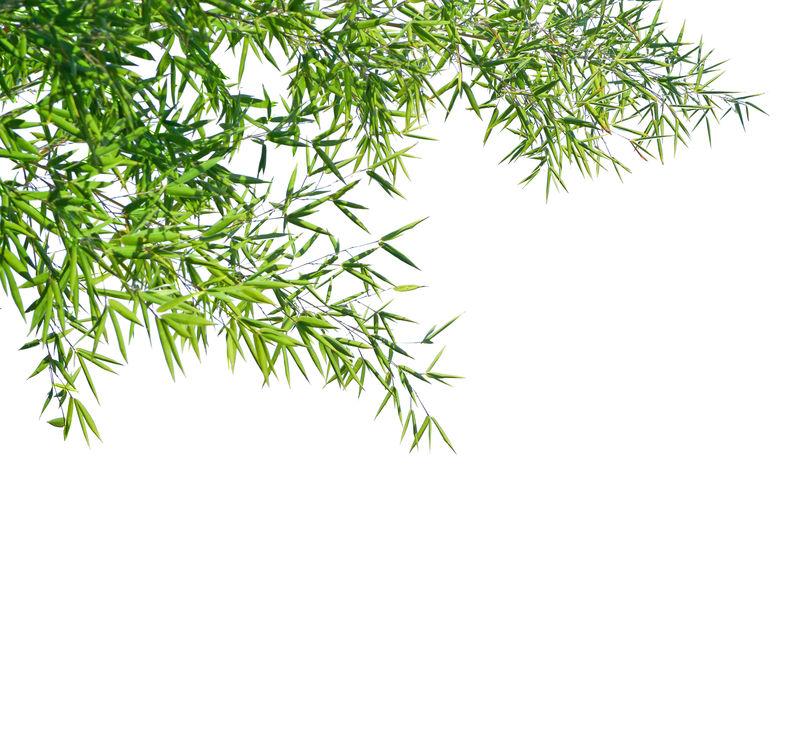白色背景下的竹枝。选择性聚焦