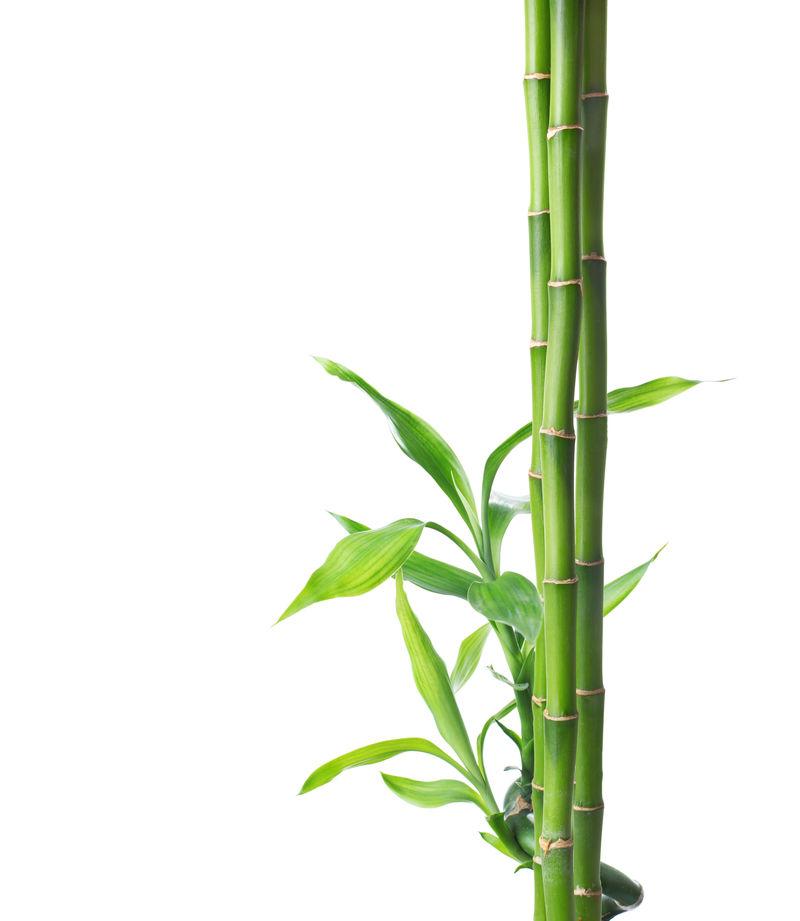 白色背景下的竹枝。