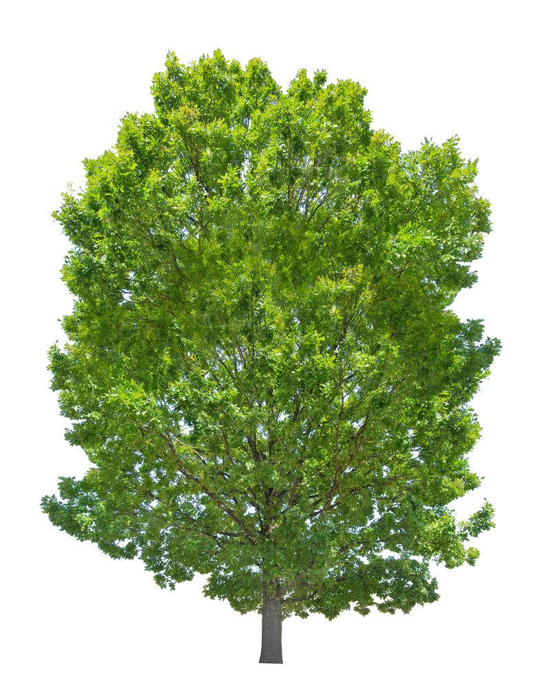 孤立的夏季绿色高橡树