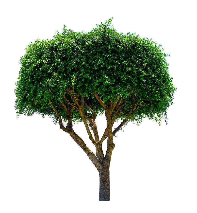 观赏树。白底隔离。