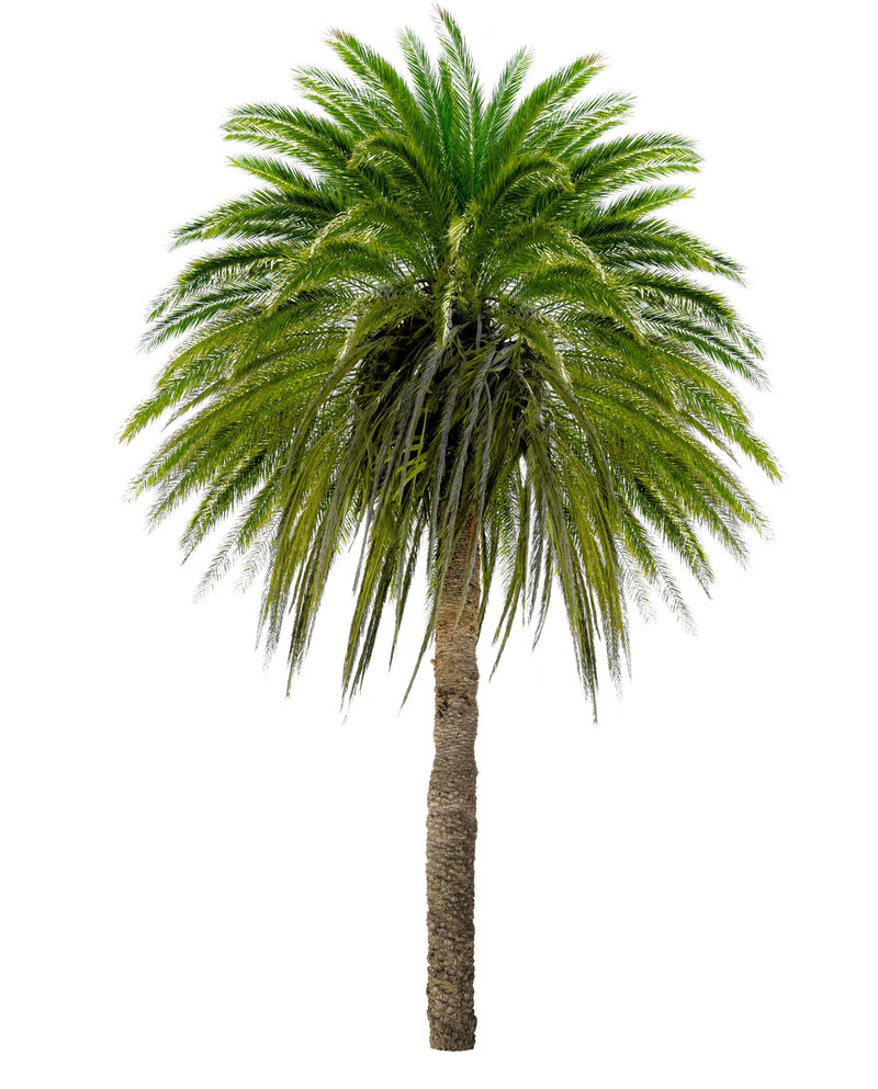 有大树冠的棕榈树。白底隔离。