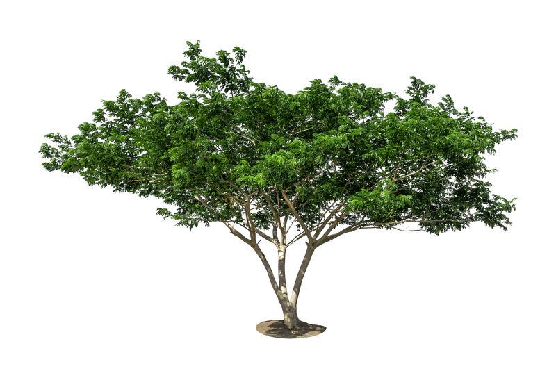 大树,白色背景下孤立的树