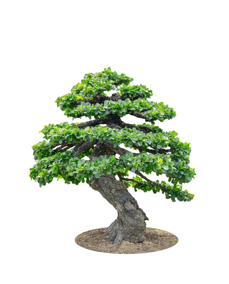 盆景树优雅,白底孤立
