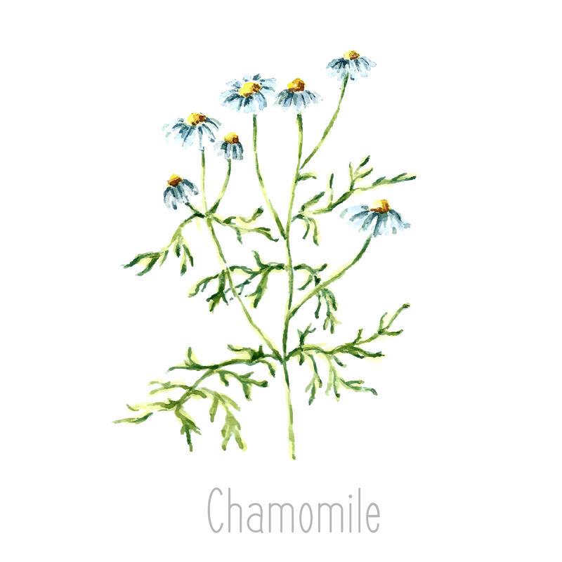 洋甘菊植物的手绘水彩植物插图-洋甘菊画孤立在白色背景上-草药插图-标本室