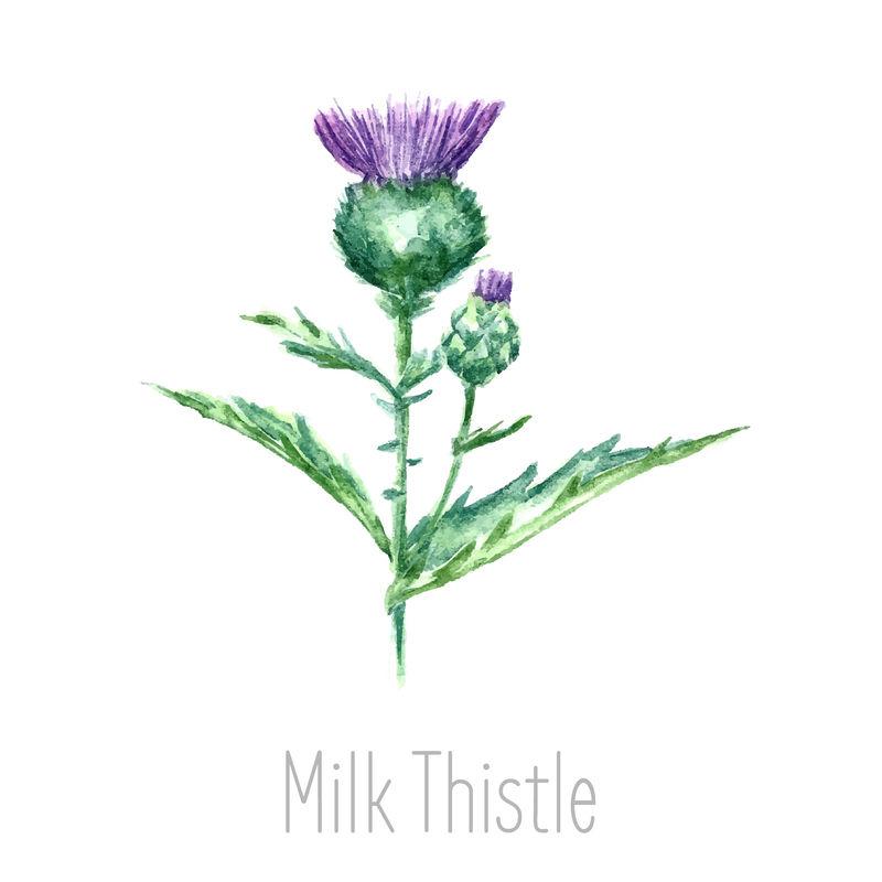 手工绘制的乳蓟植物水彩植物插图-乳蓟画孤立在白色背景上-草药插图-标本室