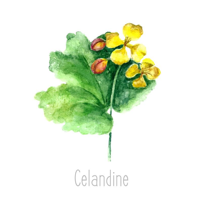 手工绘制的白屈菜植物水彩插图-白底白银画-草药插图-标本室