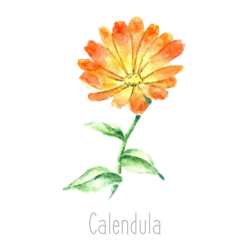 金盏花植物的手绘水彩植物插图-白纸背景上的金盏花图-草药插图-标本室