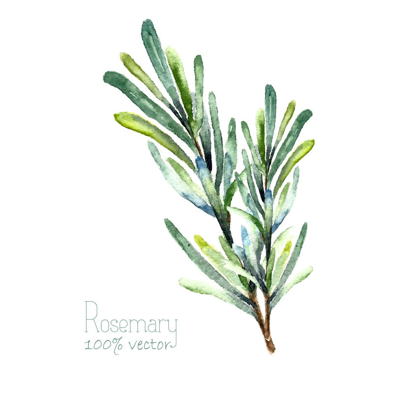 水彩迷迭香-手绘迷迭香插图-白色背景上分离的草本矢量对象-厨房里的香草和香料横幅