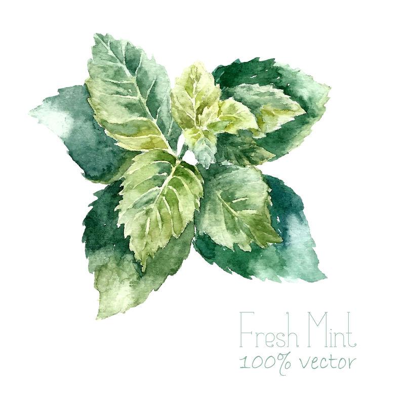 水彩薄荷-手绘铸币插图-白色背景上分离的草本矢量对象-厨房里的香草和香料横幅