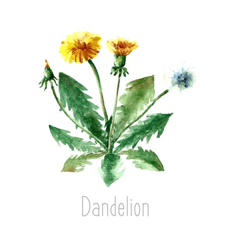 蒲公英植物的手绘水彩植物插图-蒲公英单独画在白色背景上-草药插图-标本室