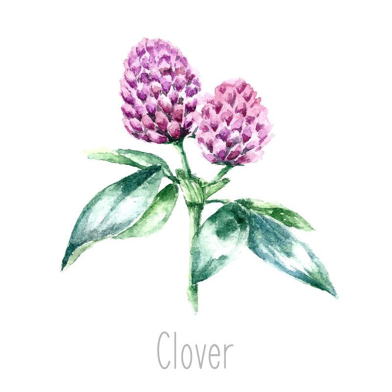 手工绘制的三叶草植物水彩插图-三叶草画孤立在白色背景上-草药插图-标本室