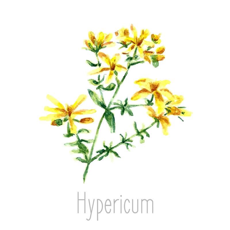 金丝桃属植物的手绘水彩植物插图-在白色背景上单独绘制的金丝桃-草药插图-标本室