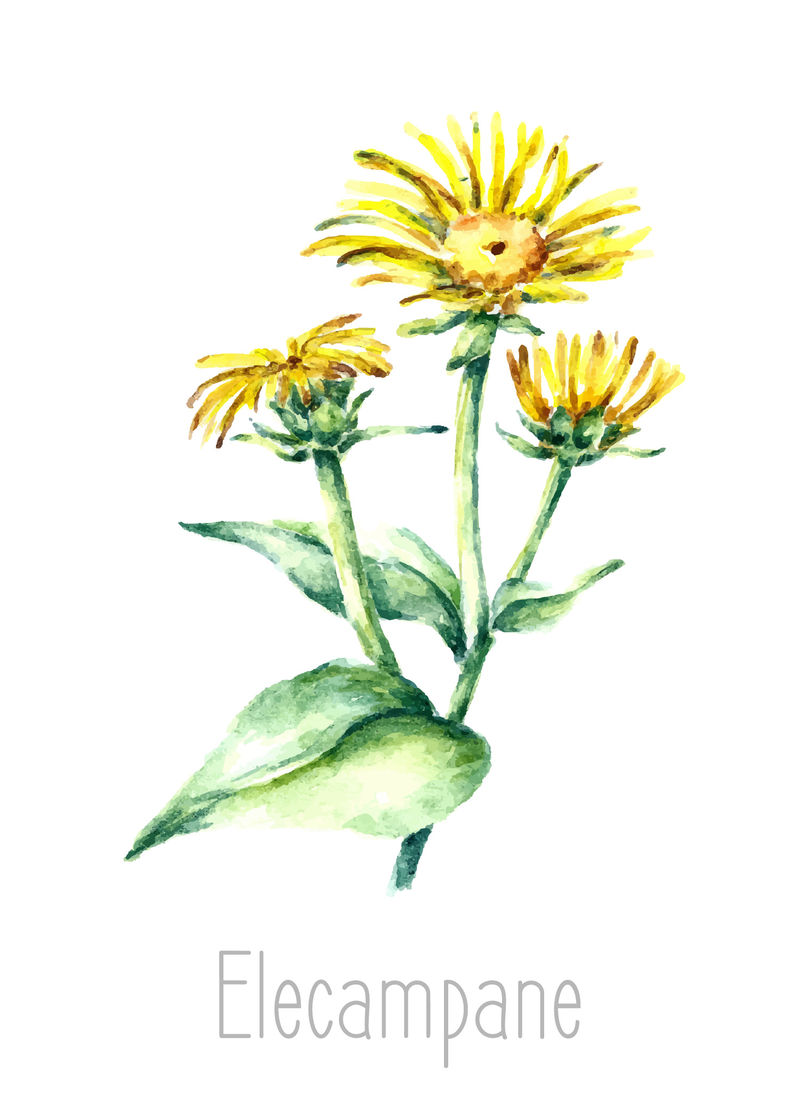 用手绘的水彩画植物插图-Elecampane在白色背景上单独绘制-草药插图-标本室