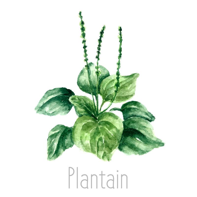 芭蕉植物的手绘水彩植物插图-车前草素描-白底独立-草药插图-标本室
