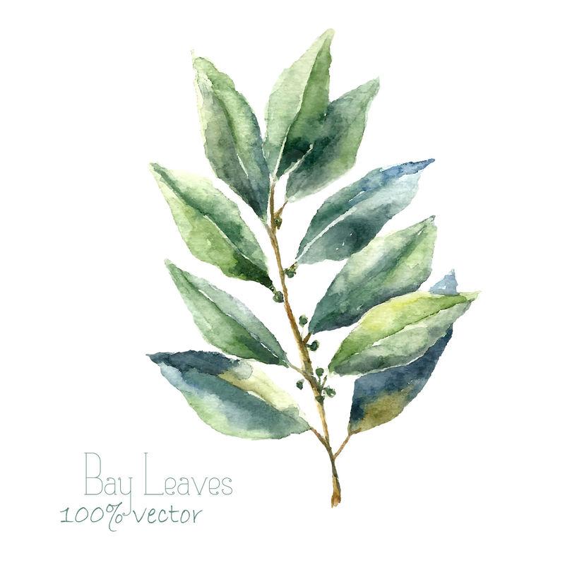 水彩月桂叶-手绘月桂叶插图-白色背景上分离的草本矢量对象-厨房里的香草和香料横幅