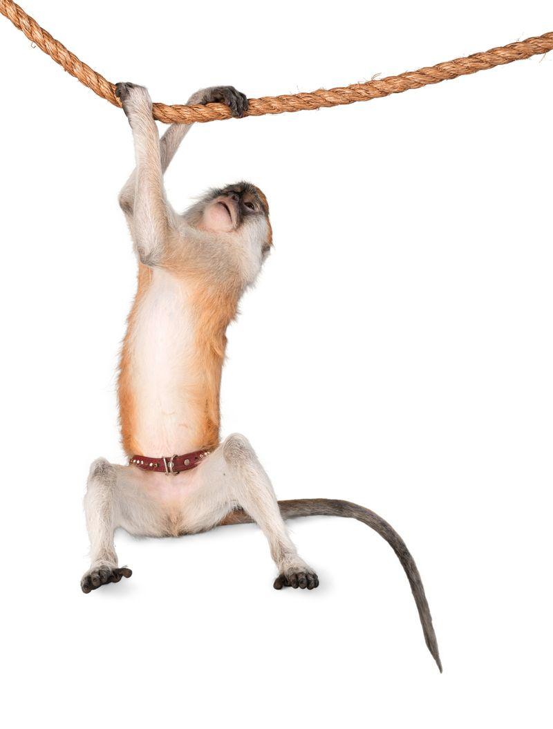 orangutan猴的动物