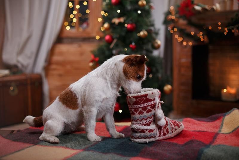狗杰克拉塞尔梗假期,圣诞节和新年