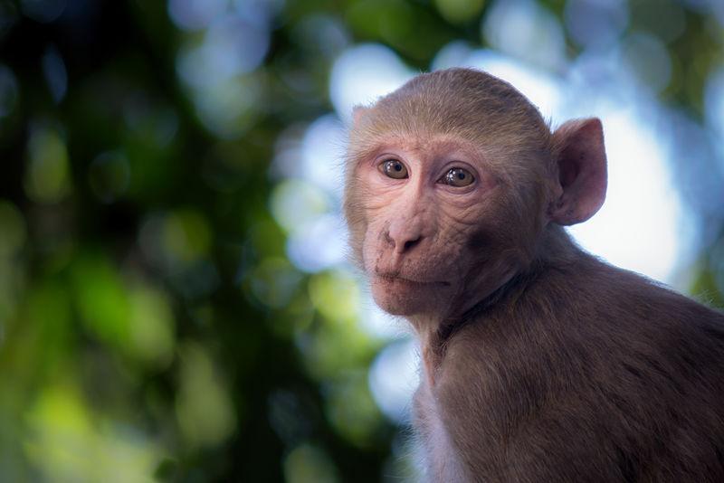 坐在树上的猕猴在它的自然栖息地