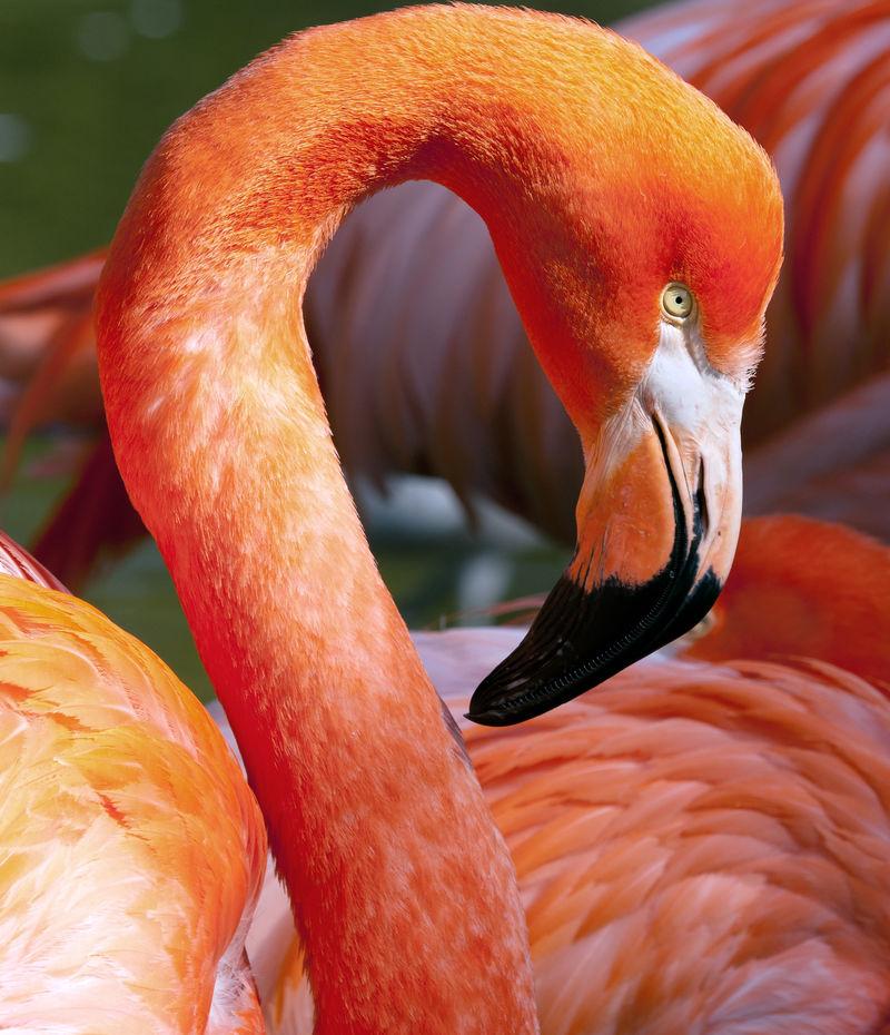 美国火烈鸟-红毛火烈鸟-美丽的红色鸟
