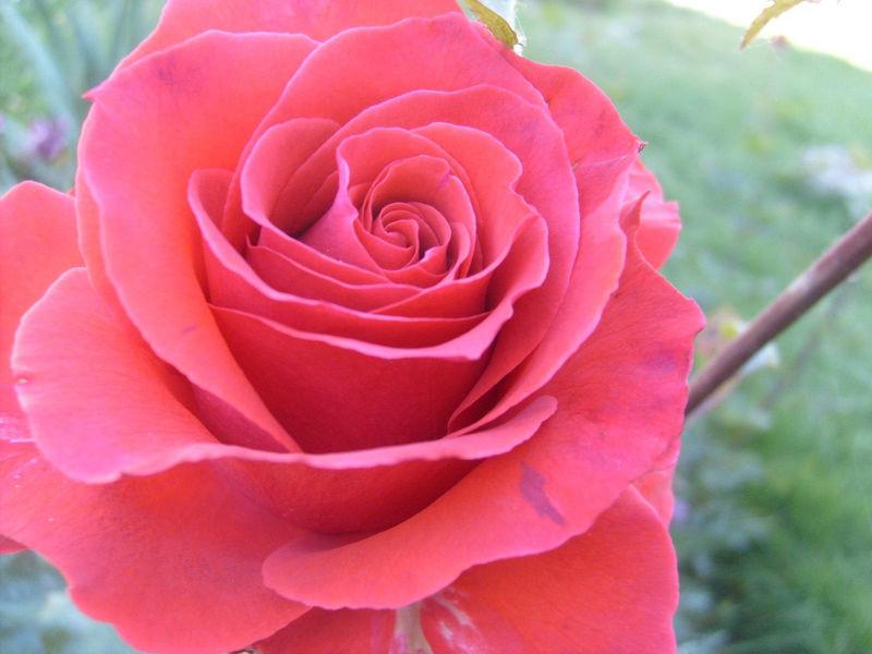 一朵粉红色的玫瑰