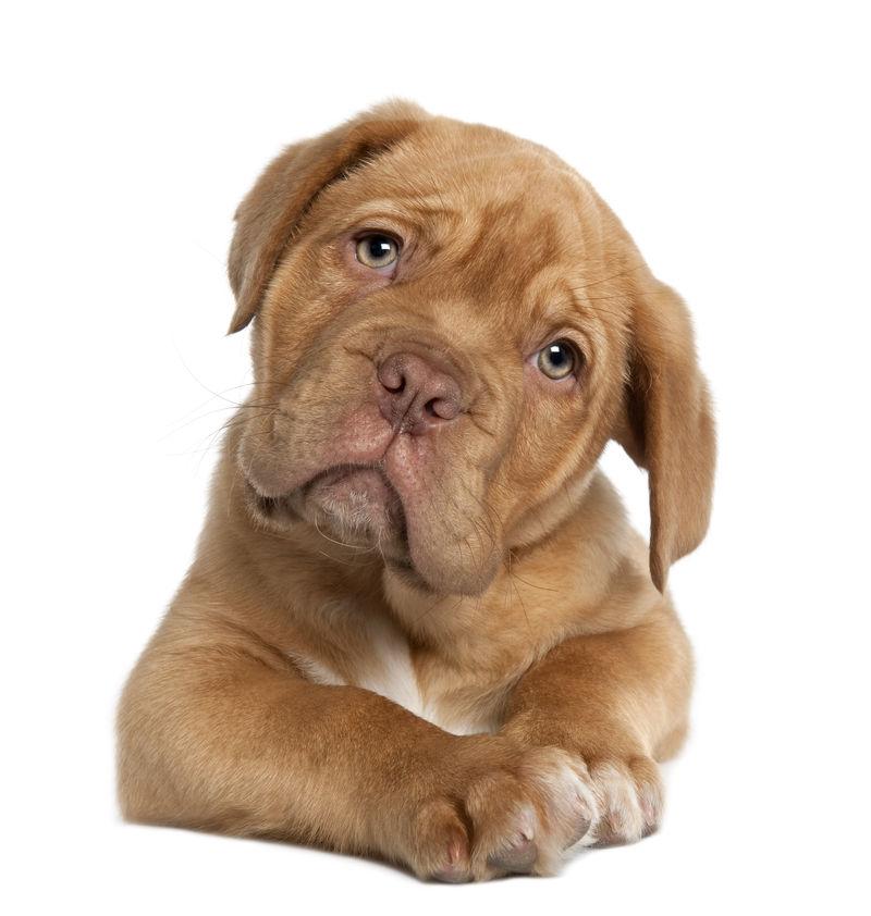 波尔多小狗Dooede-10周大-躺在白色背景前