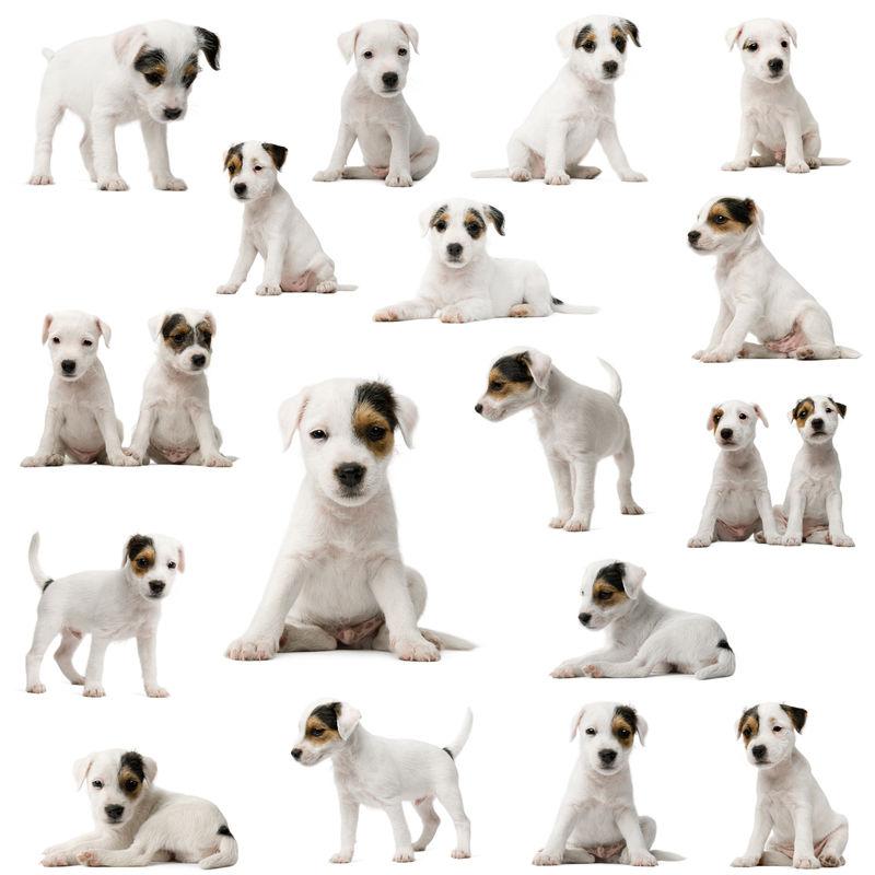 白色背景前的Parson Russell Terrier小狗系列