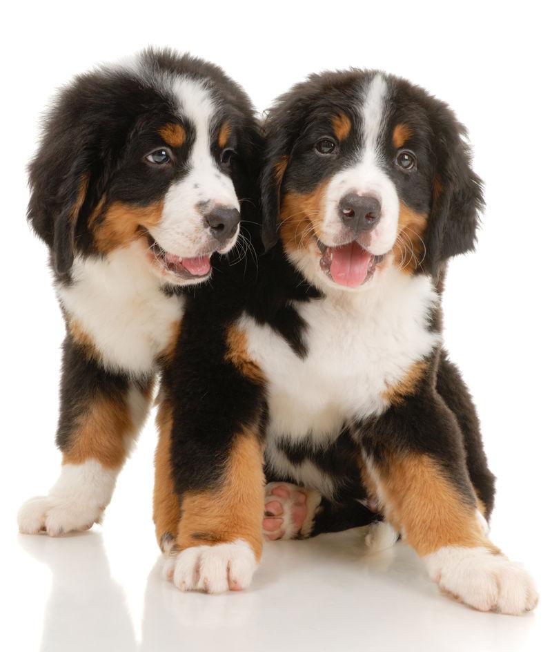 两条白底伯恩森嫩洪幼犬