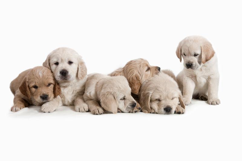 6周大-可爱和好奇的金毛猎犬小狗